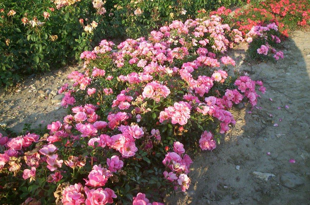roser bunddække