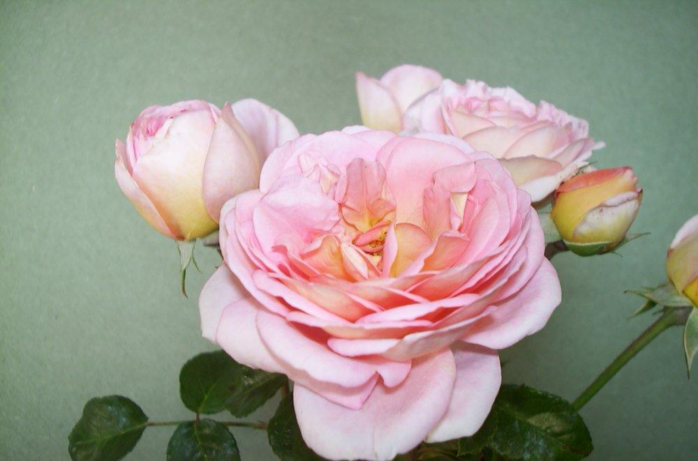 pariser roser